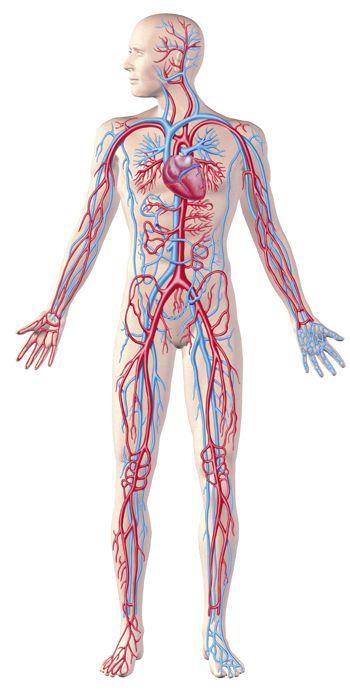 Foods For Maintaining Circulation Health Human Circulatory System Circulatory System Multiple Sclerosis