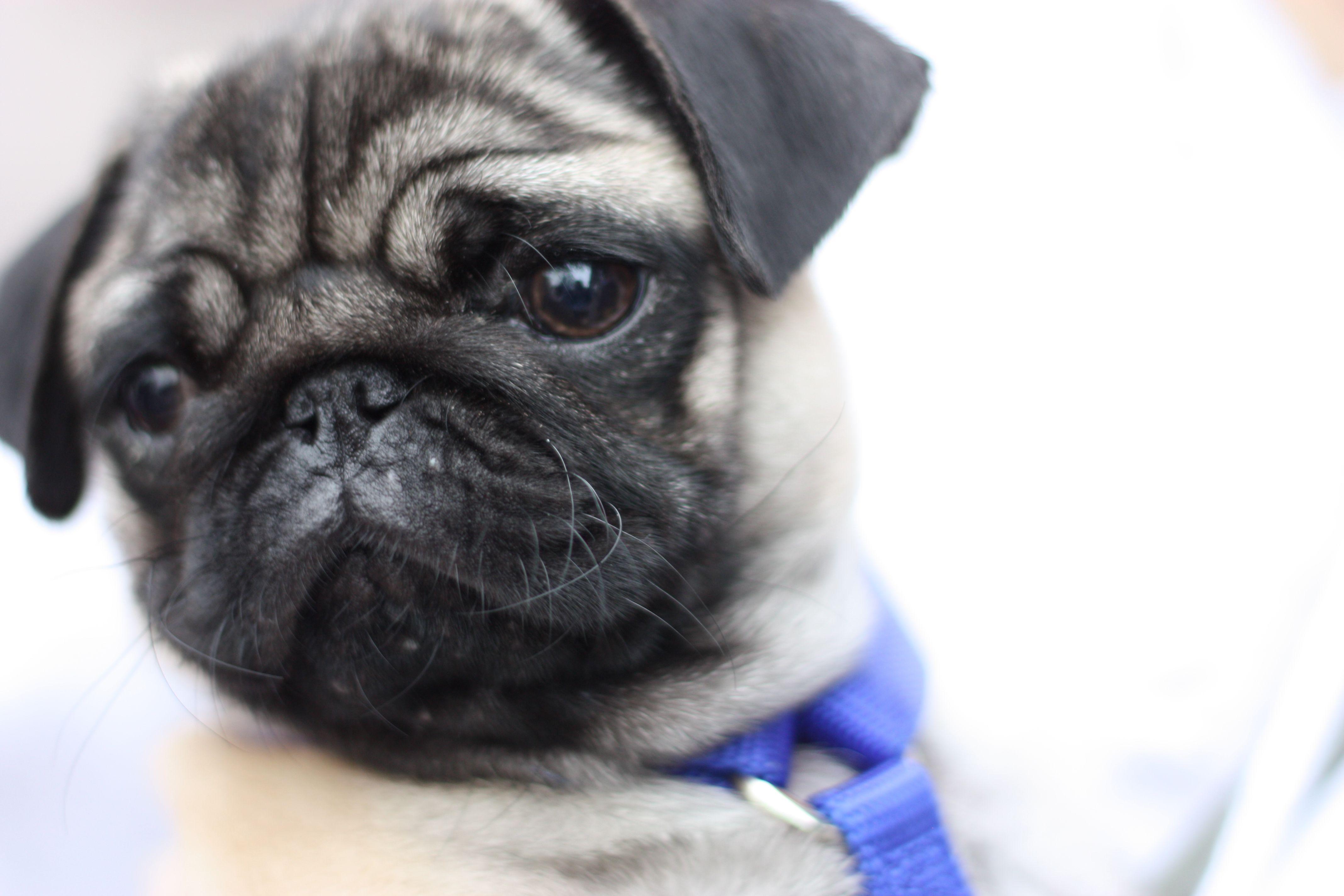 Cute Pug Puppy Cute Pug Puppies Pug Puppies Black Pug Puppies Wallpaper pug dog pet friend black
