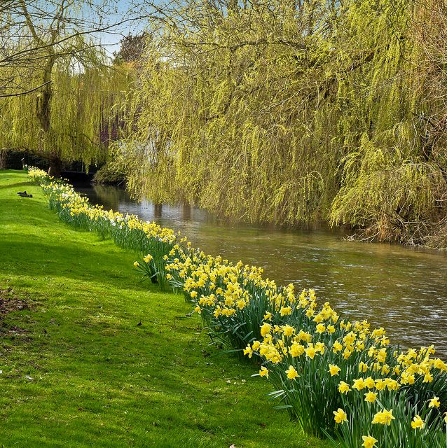 Daffodils beside the River Test at Overton in Hampshire by Anguskirk, via Flickr