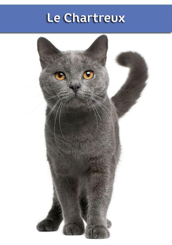 tout savoir sur le chat chartreux chat chat chartreux villaverde le mois du chat. Black Bedroom Furniture Sets. Home Design Ideas