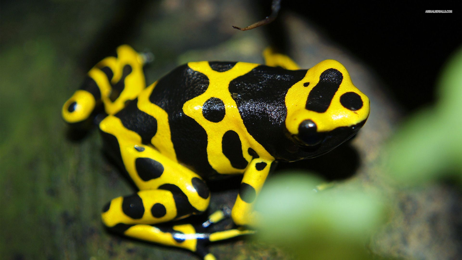 Poison Dart Frog Hd Wallpaper Poison Dart Frogs Frog Poisonous