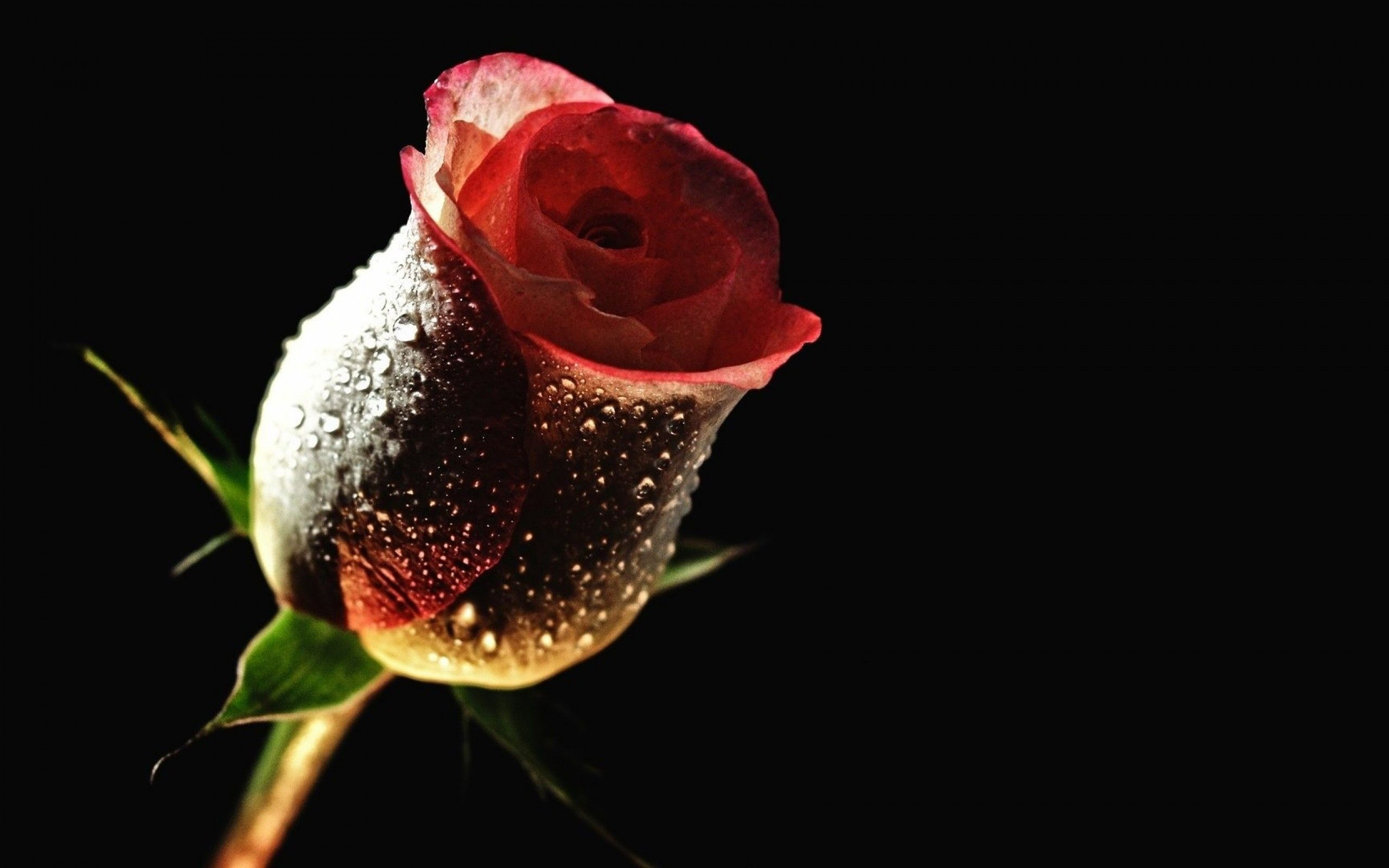 Red Rose In A Dark Room Hd Free Wallpaper Rose Flower Pictures Beautiful Red Roses Images Rose Flower Hd