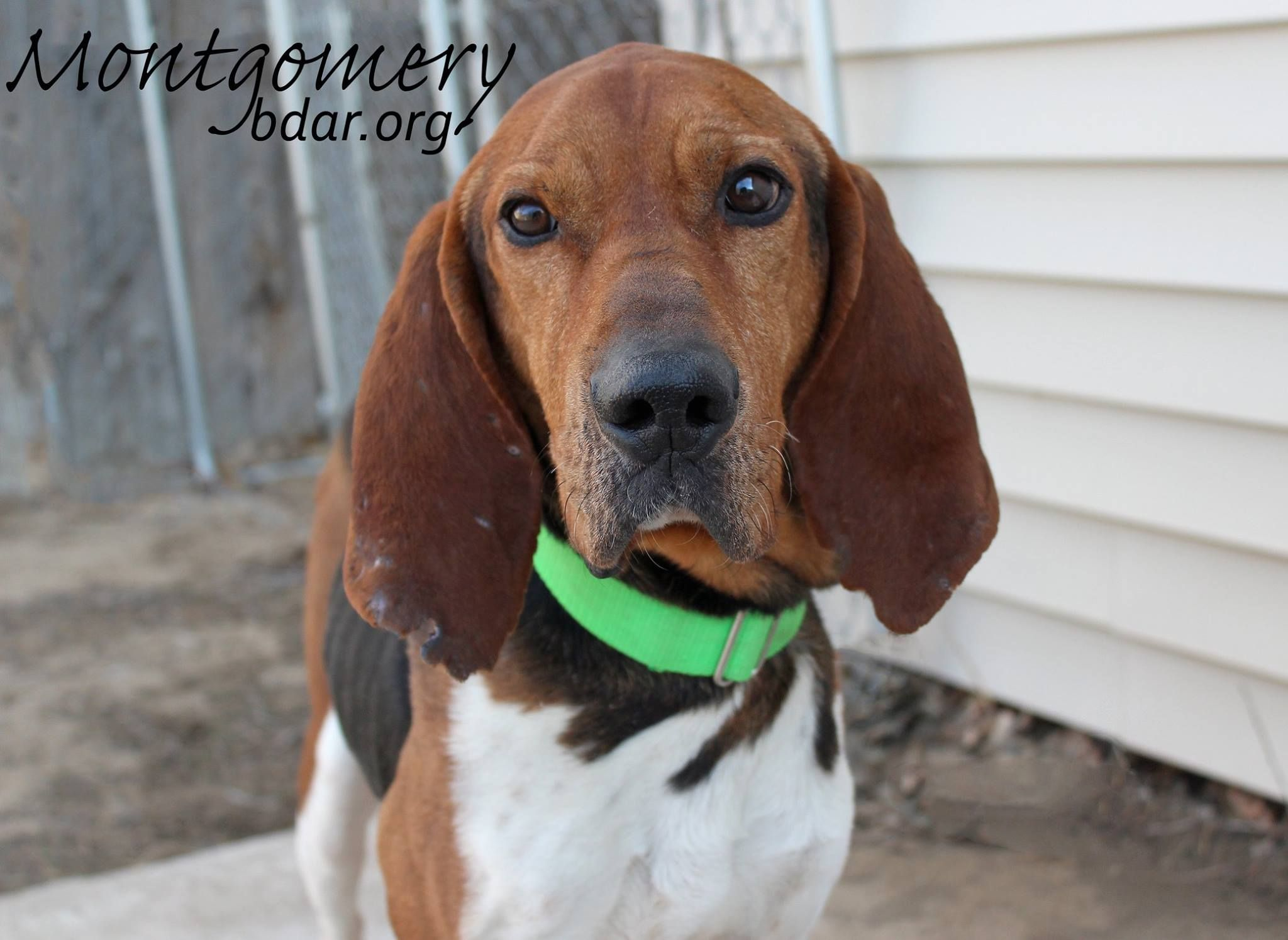 Treeing Walker Coonhound Dog For Adoption In Cheyenne Wy Adn