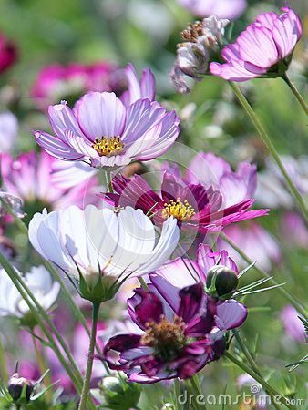 Beautiful Cosmos Are Drought Tolerant Gardening Ideas Flowers