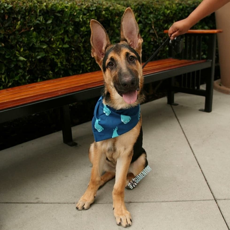 Kona German Shepherd 4 M O Otay Town Center He S So Clumsy
