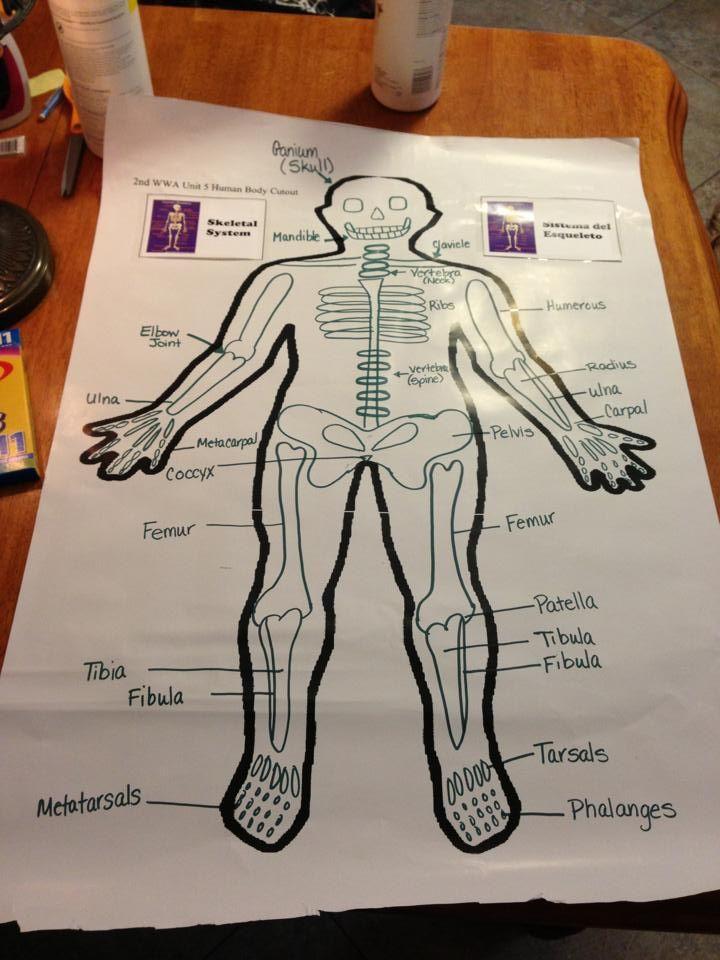 Skeletal System  U2013 Labeled Diagrams Of The Human Skeleton