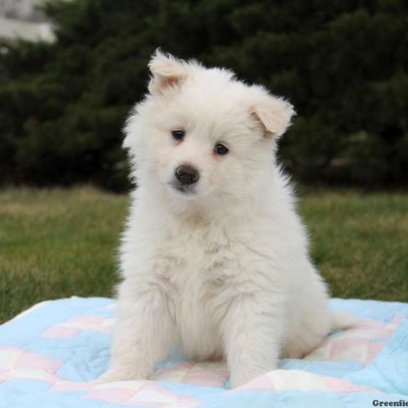 American Eskimo Mix Puppies For