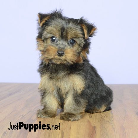 Puppies For Sale Orlando Fl Justpuppies Net Puppies For Sale Puppies