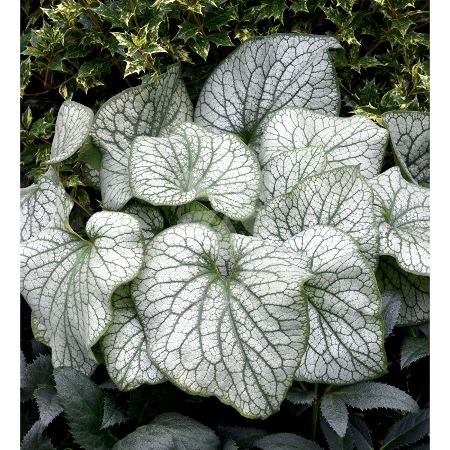Brunnera macrophylla alexanders great ground covering planting brunnera alexanders great has large heart shaped leaves with dappled silvery variegation pale izmirmasajfo