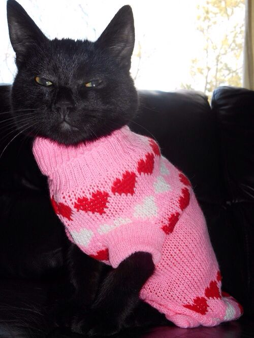 Blue Cat wearing a pink sweater with hearts