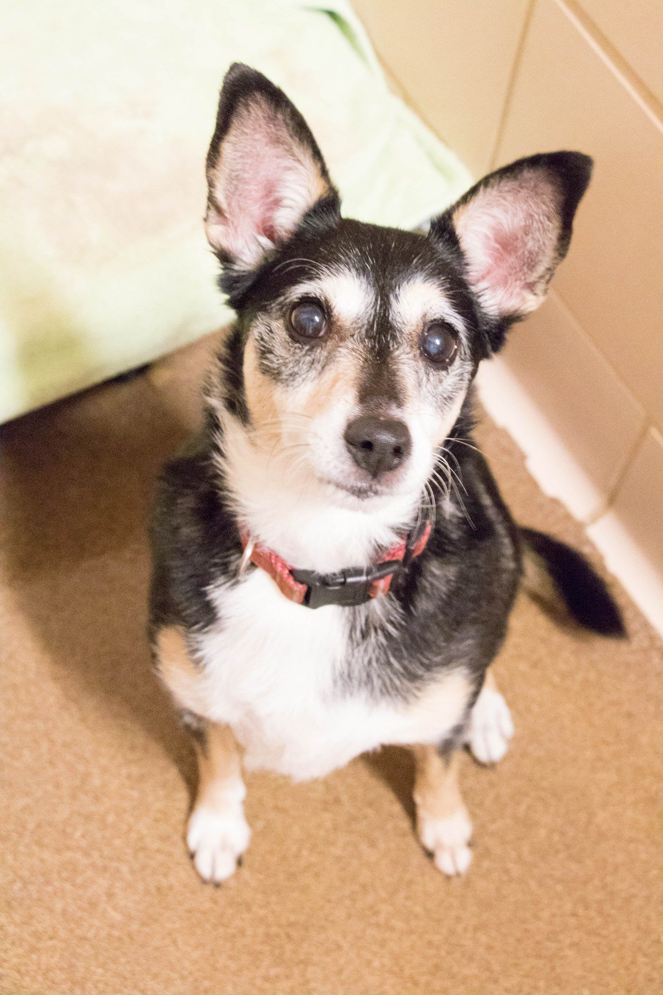 Chihuahua dog for Adoption in St. Cloud, MN. ADN639025 on