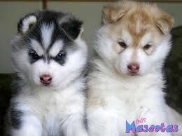 a que edad es recomendable cruzar a una perra husky - Buscar con Google