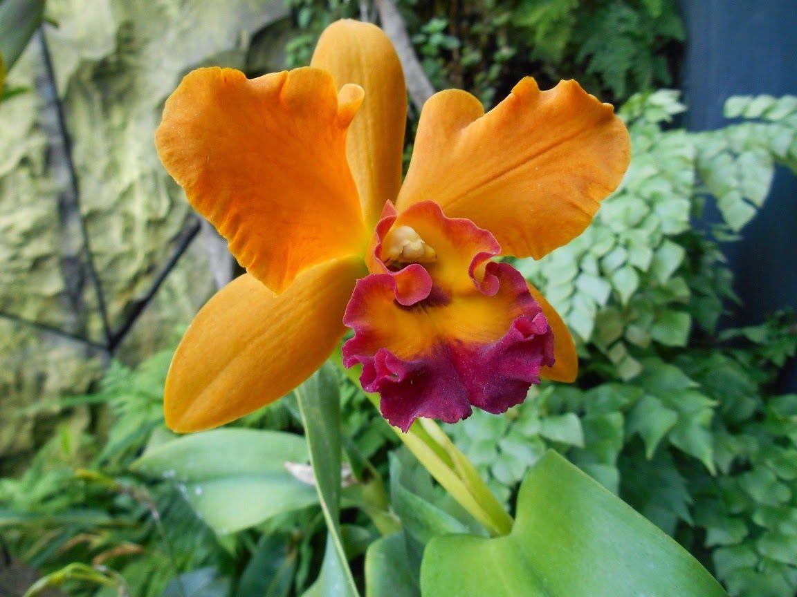 Dendrobium Sp Orchid With Orange Colour Anggrek