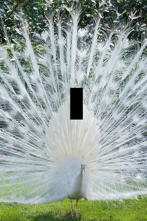 Beautiful White Peacock bird light switch by SindyOriginalDecor
