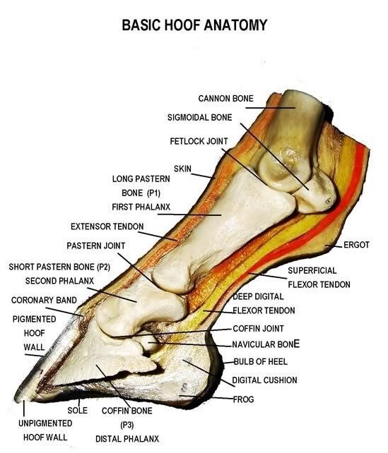 This is a detailed diagram of a horse's hoof This will