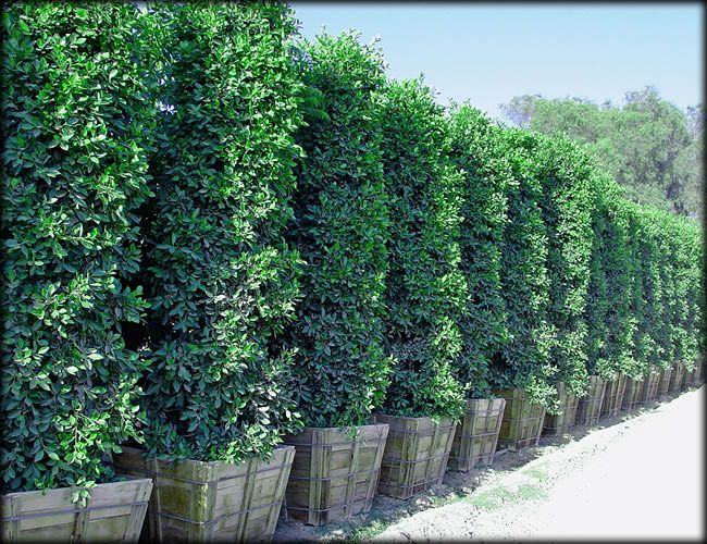 Ficus Nitida columns make great large privacy hedges ...