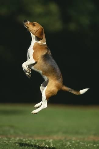 Photographic Print Beagle Jumping In Park By Dlillc 24x16in