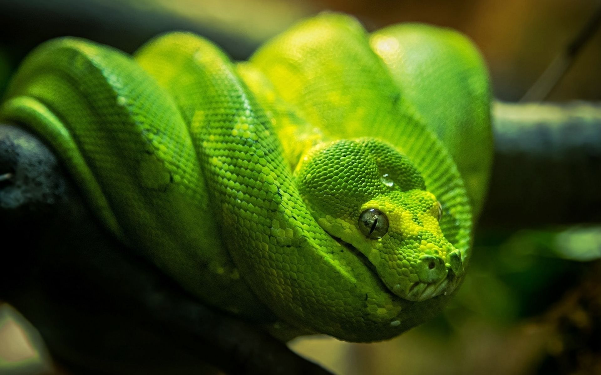 The Green tree python (Morelia viridis) is an arboreal species of ...