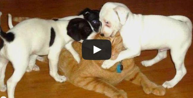 Puppy army VS one cat!     #dvotw