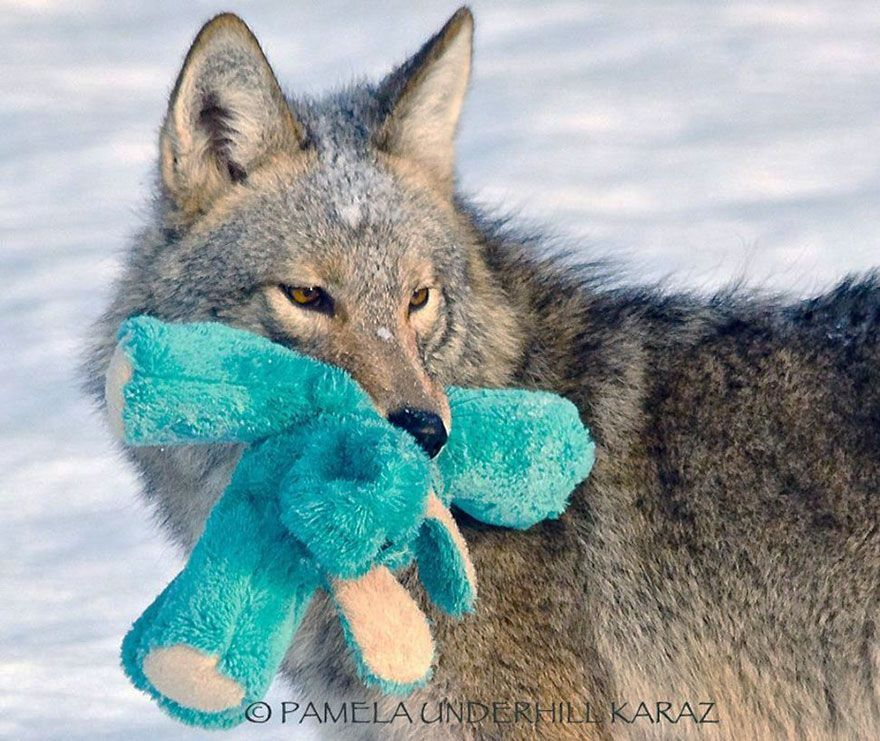 Wild Coyote Finds A Toy And Proves That Wild Animals Are As Playful As Pets  Wild Coyote Finds A Toy And Proves That Wild Animals Are As Playful As Pets  Bored Panda
