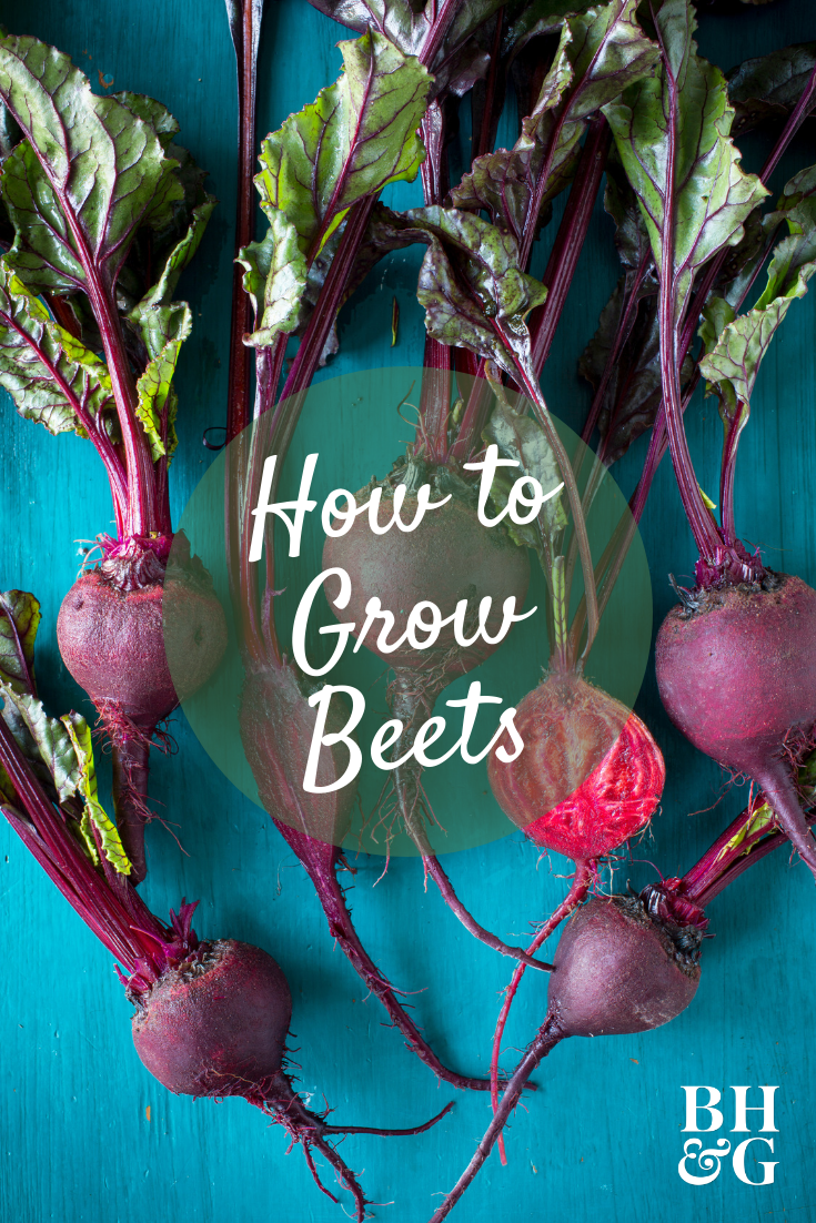 Give Sweet Tender Homegrown Beet Vegetables A Try Chances Are Good You Ll Like What You Taste Beets Ga Growing Beets Beets Container Gardening Vegetables