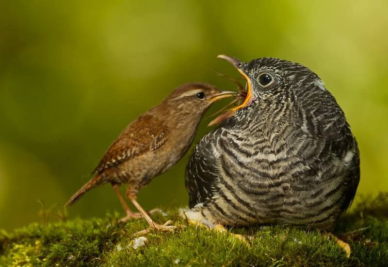 Eurasian Wren (Troglodytes troglodytes) feeding its Common Cuckoo young  (Cuculus canorus). Photo made in Spain by Victorino Diaz Fernandez. 8774f7d05311