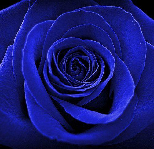 cobalt blue blue roses wallpaper blue roses
