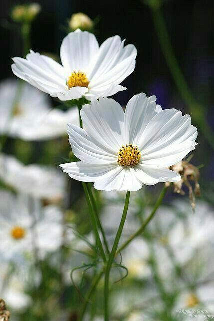 Japanese Anemene Great Fall Flower Beautifulflowers Cosmos Flowers Flowers Photography Pretty Flowers