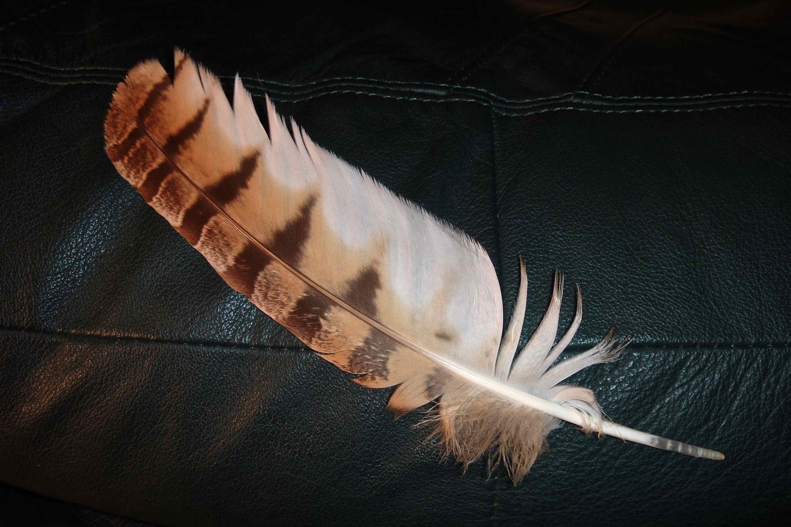 Great horned owl feather native americans believe owls see great horned owl feather native americans believe owls see things that are not put biocorpaavc Images