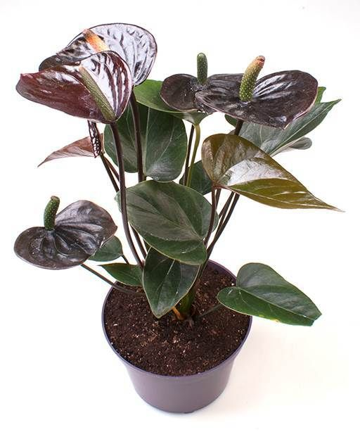 Flamingo Lily Black Love Anthurium Andraeanum Hybrid Anthurium Planting Flowers Cool Gifts For Women