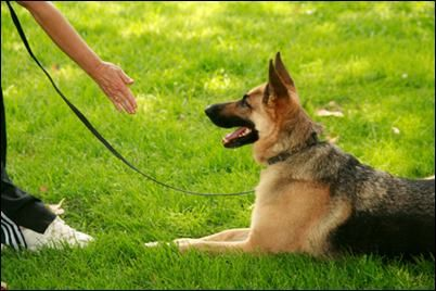 How To Train Your Dog To Lie Down On Command Dog Training Hand