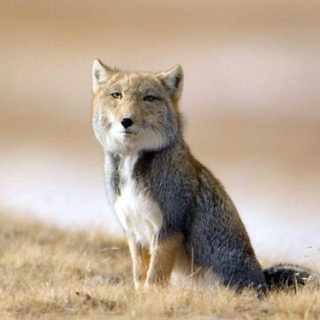 Tibetan Fox 美しい動物 スナギツネ 動物