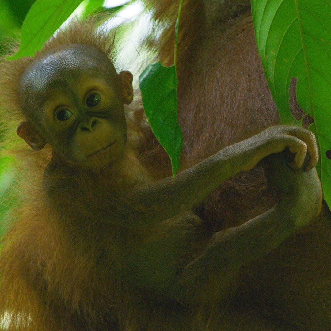 Pin on Orangutans