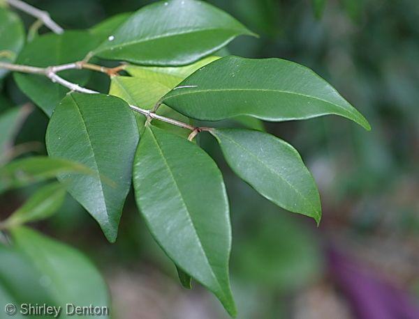 Calyptranthes Pallens Pale Lidflower Leaf Family Myrtaceae