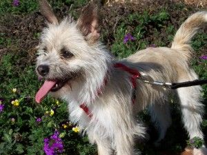 Erin Is An Adoptable Cairn Terrier Dog In Conover Nc Erin Is A