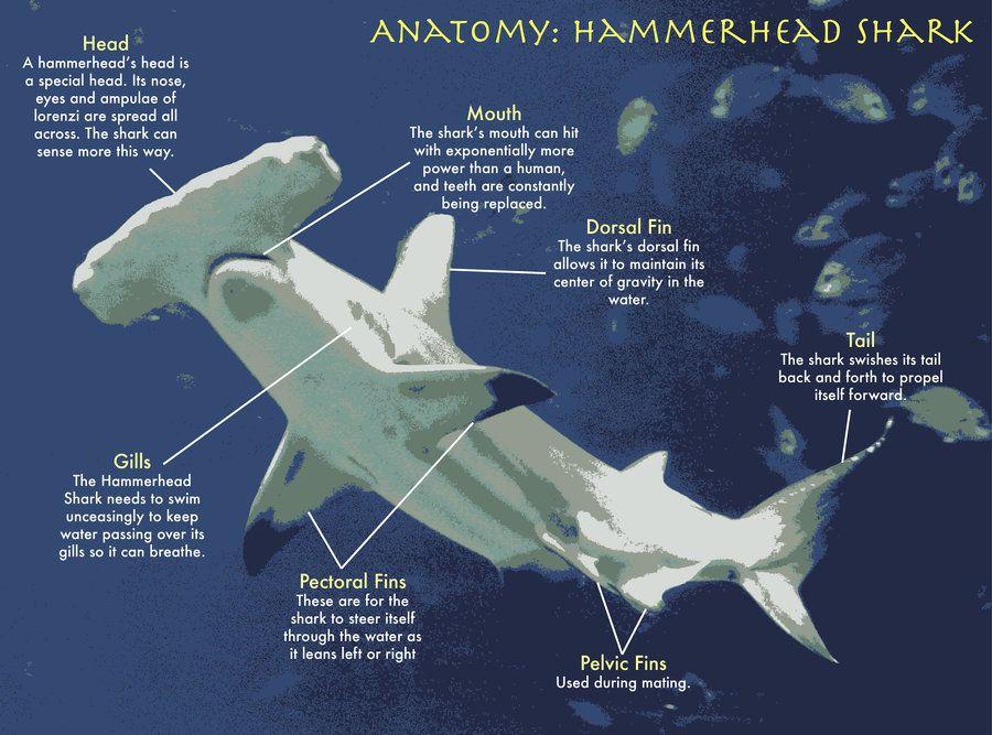 Hammerhead Shark Anatomy