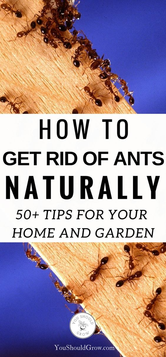 57 All Natural Ways To Get Rid Of Ants | Ant, Gardens And Organic