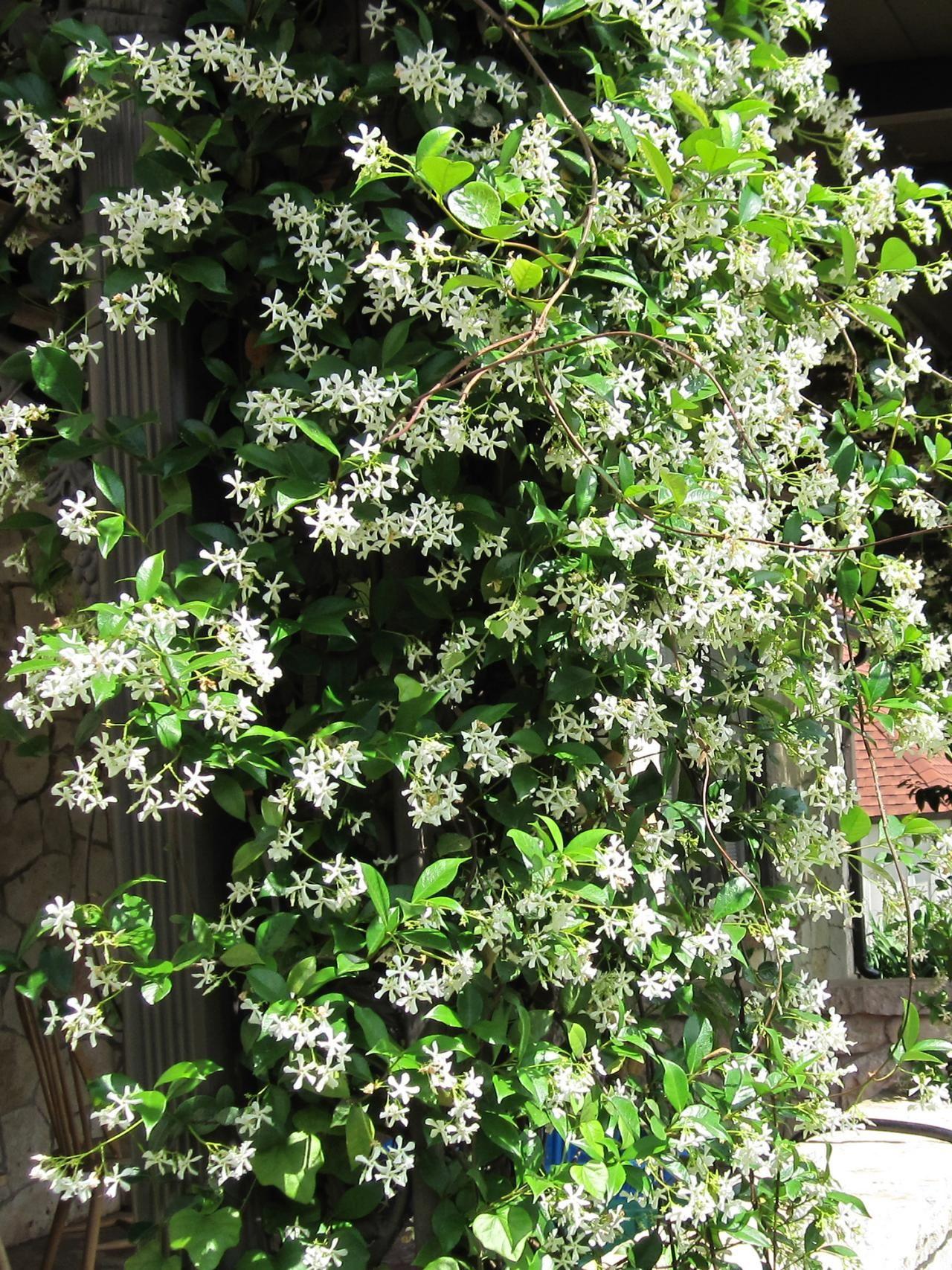 15 Climbing Vines for Lattice Trellis or Pergola