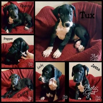 Litter Of 6 Great Dane Puppies For Sale In Phoenix Az Adn 44176
