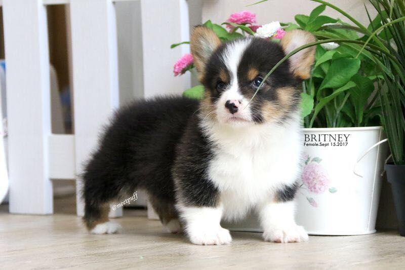 Dijual Anjing Welsh Corgi Pembroke Jual Welsh Corgi Puppy