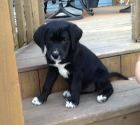 Laela Is An Adoptable Labrador Retriever Dog In St Charles Il