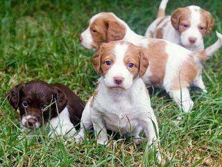 Brittany Puppies Brittany Puppies Brittany Spaniel Dogs Puppies Kitties