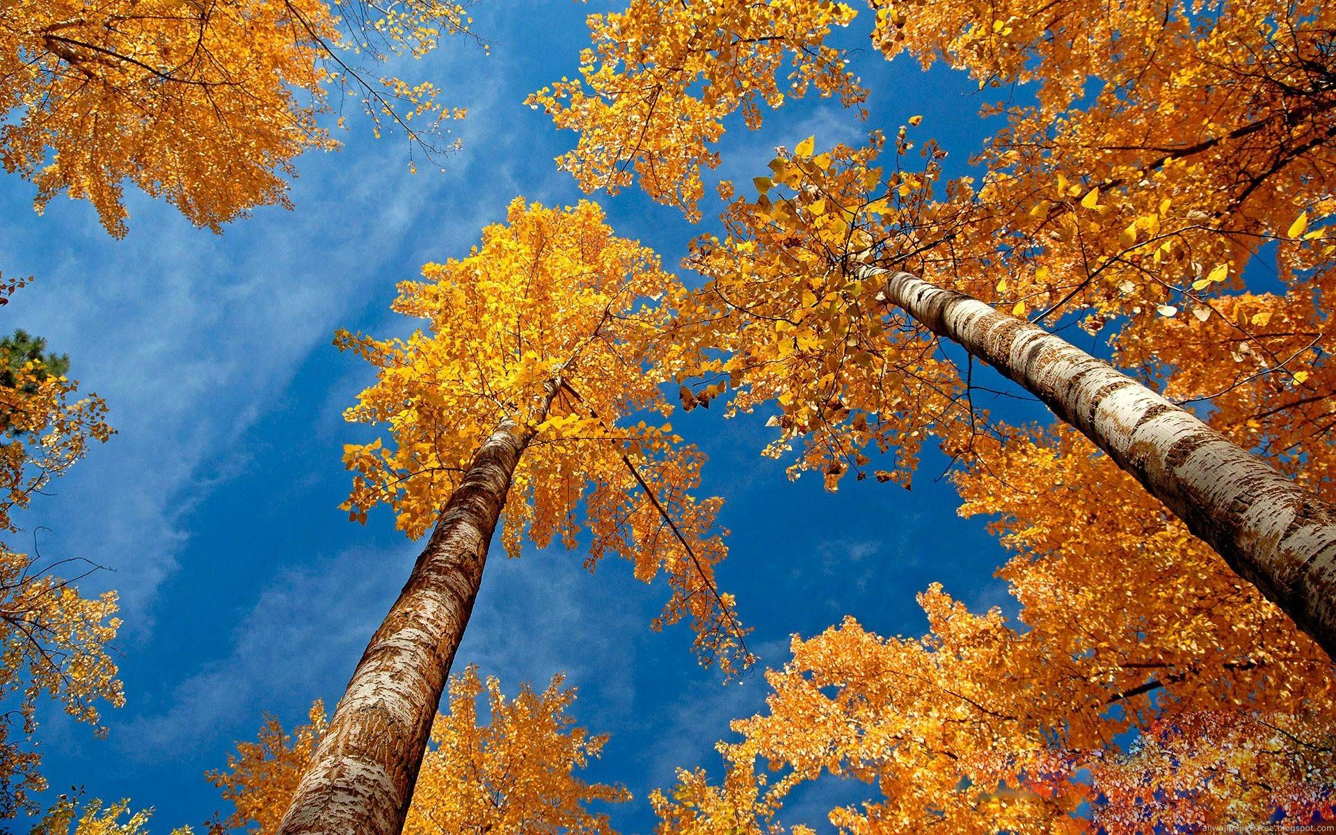 Jesen Visoko Drvo Slike Za Desktop I Pozadinu Scenery