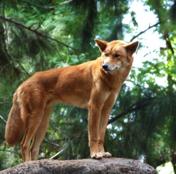 Pin on Dingo