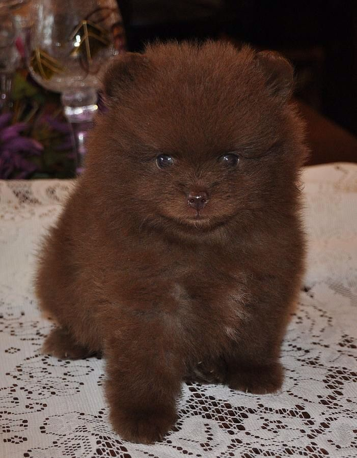 Most Inspiring Pomeranian Brown Adorable Dog - 2a2fcca744b34b64f1b44fd35d38d535  Perfect Image Reference_421171  .jpg