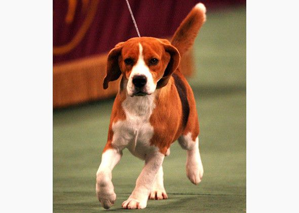 Uno Best In Show Winner 2008 Westminster Kennel Club 2008 Uno The