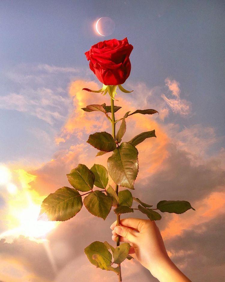 Resultado de imagen de una rosa