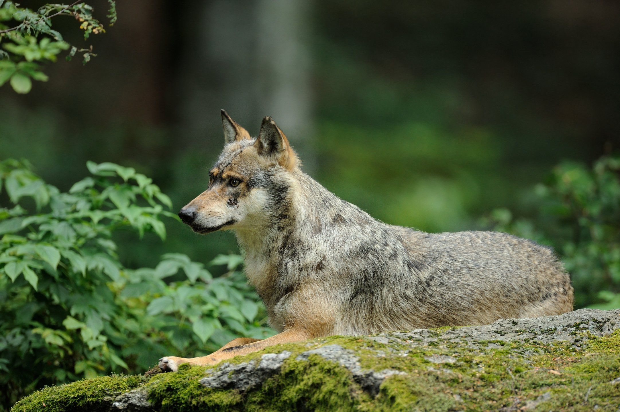 The wolves' habitat Gray wolves prefer to live in