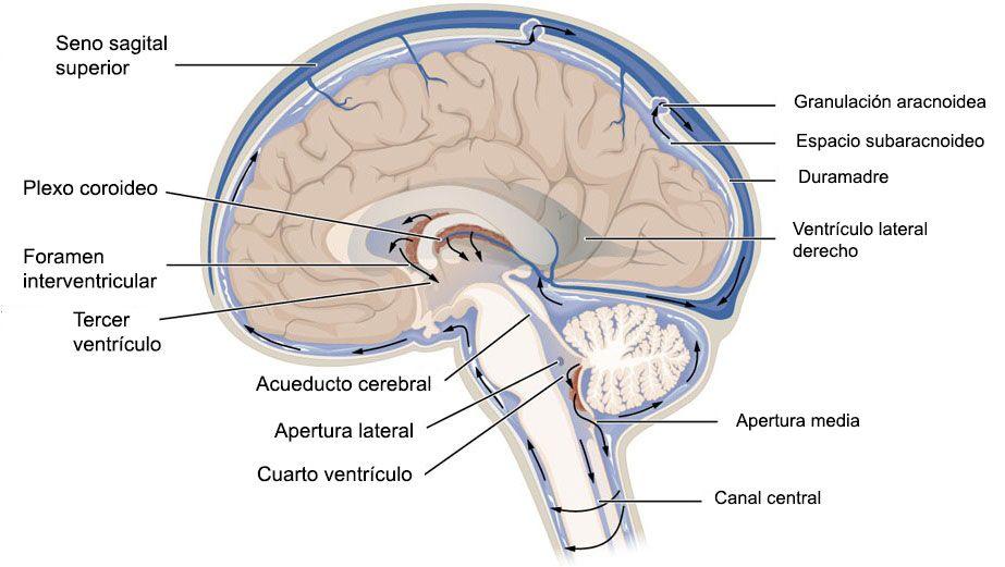 Las Meninges Son Las Tres Membranas De Tejido Conjuntivo Que Recubren El Cerebro Y L Liquido Cefalorraquideo Líquido Cefalorraquídeo Sindrome De Fatiga Cronica