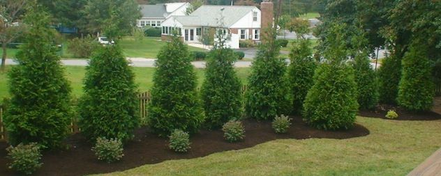 If your yard is large enough flowering deciduous trees for Backyard privacy landscaping trees